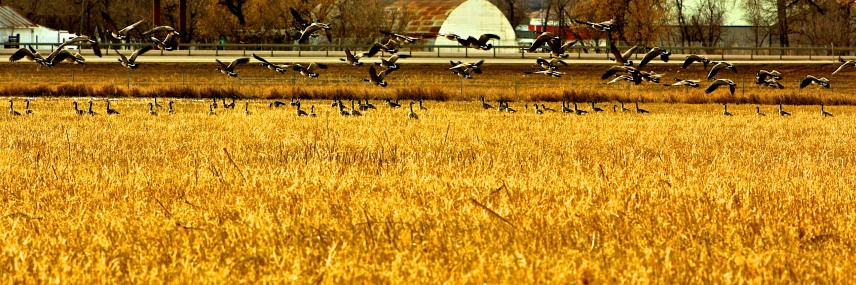 North Dakota Geese in Gold Field