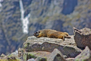 The Life of a Marmot.