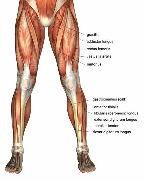 The Piriformis is a muscle set deep within the glut region  A tight    Quadriceps Muscles