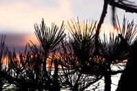 Close up pine